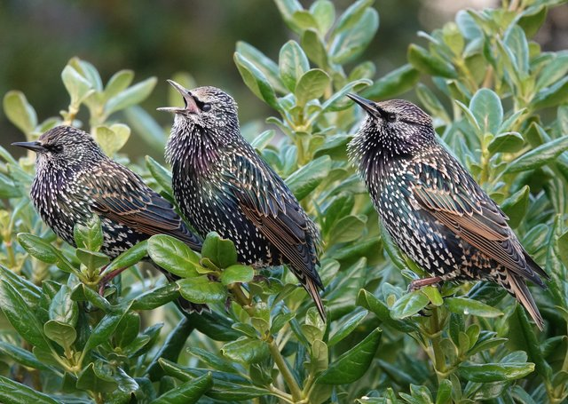 A trio of starlings in song. Picture:  Adrian Thomas.