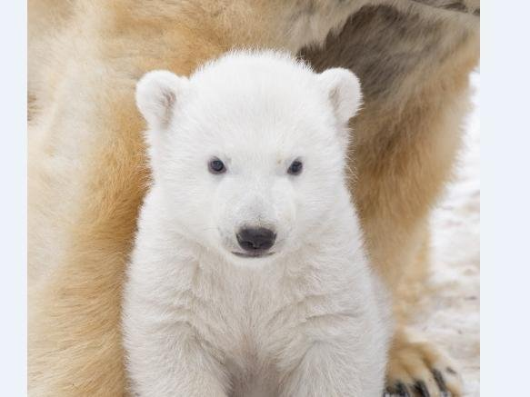 Hamish, who was born at the Royal Zoological Society of Scotland's Highland Wildlife Park in March 2018, will be leaving mum Victoria to live in a wildlife park in Yorkshire. (SWNS)