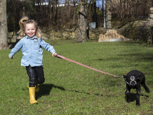 Ruby Clough, four, loves to take Brian the lamb for a stroll