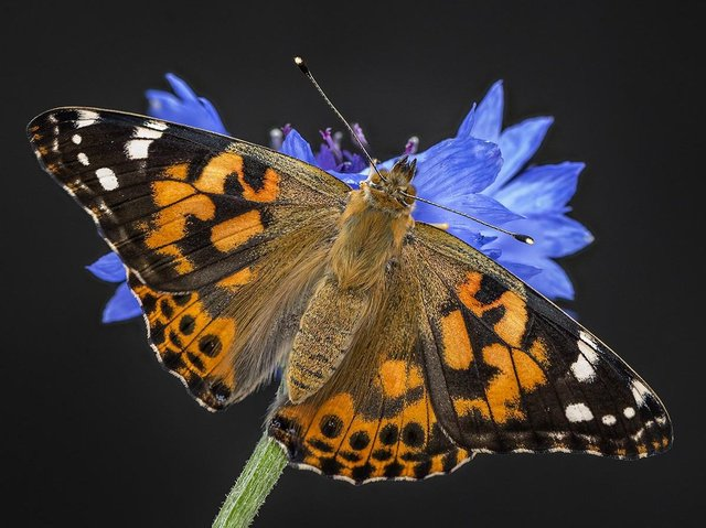 Painted Lady by Paul Harrison