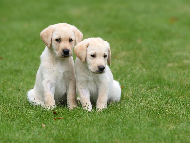 Guide Dogs is looking for puppy raisers in Dewsbury and Mirfield